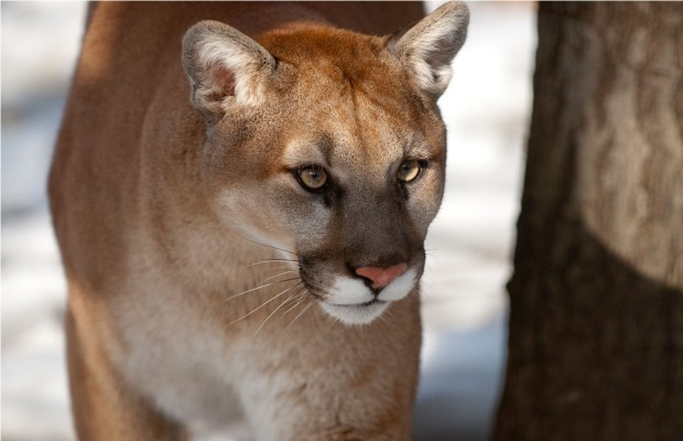 gahanna cougar women Joshua newell told a delaware county magistrate this morning that he wasn't seeking attention by taking a video of himself hopping a fence to pet the cougars at the columbus zoo and aquarium.